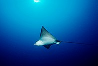 Eagle Ray, Aetobatus narinari, Indian Ocean, Maldives Island