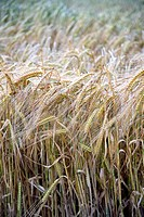 wheat plants Triticum spp on a wheat field  Murieta, Navarre, Spain, Europe