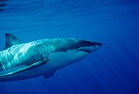 Great White Shark, Carcharodon carcharias, Guadalupe, Pacific Ocean, Mexico