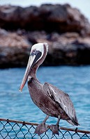 Pelican, Pelecanus occidentalis, Caribbean Sea, Curacao