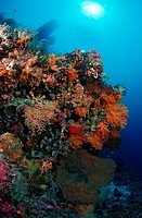 Colorful Coral Reef, Komodo National Park, Indian Ocean, Indonesia