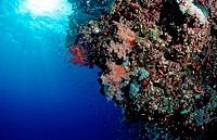Colorful Coral Reef, Rocky Islands, Red Sea, Egypt