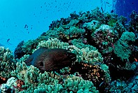 Giant Moray at Coral Reef, Gymnothorax javanicus, Ras Mohamed, Sinai, Red Sea, Egypt