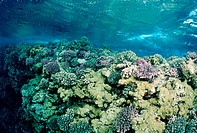 Reeftop with Corals, Red Sea, Sudan