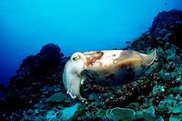 Reef Cuttlefish, Sepia spec., Pacific, Micronesia, Palau
