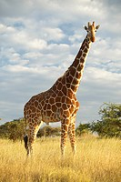 Giraffe in sunset light