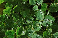 Close_up of water drops on the leaves of a plant