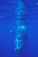 Humpback Whale Megaptera novaeangliae Mother and calf underwater, AuAu Channel off Maui, Hawaii, USA. Pacific Ocean.