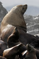 Steller Northern Sea Lion Eumetopias jubatus Adult Bull hauled out with young, Southeast Alaska, USA.
