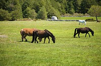 horses grazing on the grass