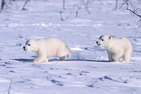 Polar Bear cubs Ursus maritimus running on open snow, Churchill, Manitoba, Hudson Bay, Canada