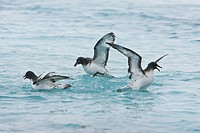 Adult cape petrel Daption capense feeding after an iceberg calved near Port Lockroy near the Antarctic peninsula. This petrel is sometimes also called...