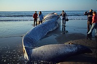 Stranded body of dead Blue whale, Balaenoptera musculus calf, people looking at carcass, Monterey Bay, California, USA