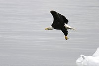 American Bald Eagle Haliaeetus leucocephalus taking flight from a calved iceberg from the Le Conte glacier just outside Petersburg in Southeast Alaska...