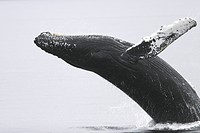 Humpback Whale Megaptera novaeangliae Adult breaching near the Five Fingers Island Group in Southeast Alaska, USA. Pacific Ocean.