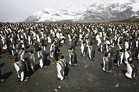 King Penguins Aptenodytes patagonicus nesting by the thousands on South Georgia Island, southern Atlantic Ocean.