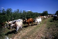 herd of longhorn cattle moving down a trail