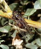 Cicada orni on a twig / Cicada orni