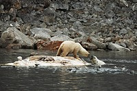 two Polar bears _ fighting at a dead fin whale / Ursus maritimus