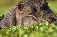 Hippopotamus (Hippopotamus amphibius) resting in lily covered pool, Maasai Mara National Reserve, Kenya
