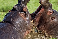 Hippopotamus (Hippopotamus amphibius) males fighting in a lily covered pool, Maasai Mara National Reserve, Kenya