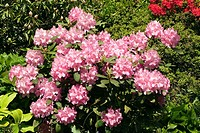 Rhododendron at the Arboretum Trompemburg, Rotterdam, Netherlands