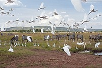Cattle egrets (Bubulcus ibis) taking off from amongst a herd of Common or Plains Zebra (Equus burchellii), Maasai Mara National Reserve, Kenya