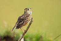 Rufous-naped Lark (Mirafra africana) perched on a branch singing, Maasai Mara National Reserve, Kenya