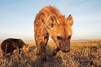 Spotted hyena (Crocuta crocuta) adolescent and pup approaching with curiosity -wide angle perspective-, Maasai Mara National Reserve, Kenya