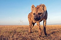 Spotted hyena (Crocuta crocuta) approaching with curiosity -wide angle perspective-, Maasai Mara National Reserve, Kenya