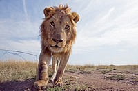 Young male lion (Panthera leo) -wide angle perspective-, Maasai Mara National Reserve, Kenya