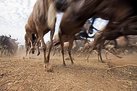 Eastern White-bearded Wildebeest (Connochaetes taurinus) herd running -wide angle perspective-, Maasai Mara National Reserve, Kenya