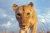 Inquisitive young lion (Panthera leo) -wide angle perspective-, Maasai Mara National Reserve, Kenya