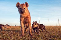 Spotted hyena (Crocuta crocuta) adolescent and pups look with curiosity -wide angle perspective-, Mara National Reserve, Kenya