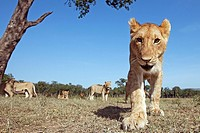Adolescent lion (Panthera leo) curiously approaching -wide angle perspective-, Maasai Mara National Reserve, Kenya