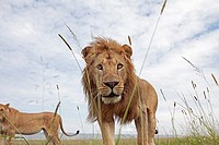 Lion (Panthera leo) mature male watching with curiosity -wide angle perspective-, Maasai Mara National Reserve, Kenya