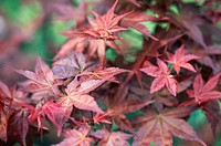 ACER LEAVES MAPLE