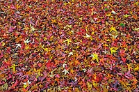 CARPET OF LIQUIDAMBAR STYRACIFLUA LEAVES
