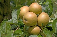 APPLE MALUS X DOMESTICA, ´NONPAREIL´ APPLE ´ROSS NONPAREIL´