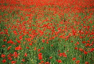 France, Camargue, poppy, field, meadow