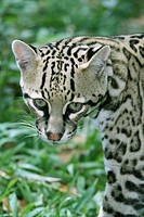 Belize, Belize City, zoo, ocelot