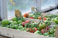 LAST OF THE OUTDOOR TOMATO CROP BEING RIPENED ON THE GREENHOUSE STAGING