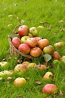 RUSTIC AUTUMN SCENE WITH WINDFALL BRAMLEY APPLES BASKET ON GARDEN LAWN