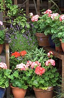 GERANIUMS AND OTHER PLANTS IN SHADY GARDEN CORNER