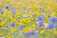 CULTIVATED WILDFLOWER MEADOW WITH CORNFLOWER CAMOMILE CORN MARIGOLD