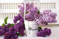 SYRINGA VULGARIS COMMON LILAC IN WOODEN BUCKET ON WHITE PORCH BENCH