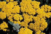 ACHILLEA MOONSHINE YELLOW FLOWER CLOSE UP SUMMER
