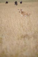 Common Tsessebe Damaliscus lunatus calf on plains, Masai Mara National Reserve, Kenya