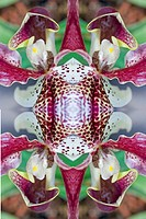 KALEIDOSCOPIC ORCHIDS