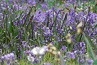HYACINTHOIDES NON_SCRIPTA ENGLISH BLUEBELLS MANIPULATED PANORAMIC